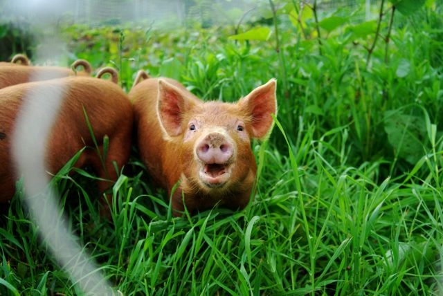 Smiling pig at Misty Brook Farm