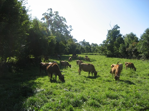 Happy cows grazing at Misty Brook Farm